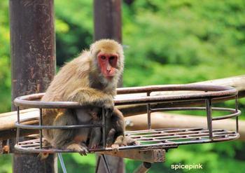 日本猿1.jpg
